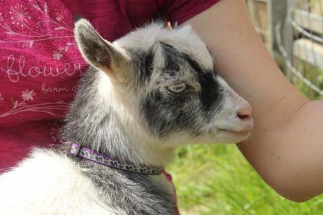 Lttle Goat