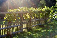grape trellis.jpg