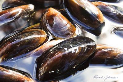 Honey Mussel 1
