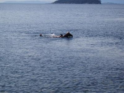 Mermaids and seahorse seen off Lasqueti