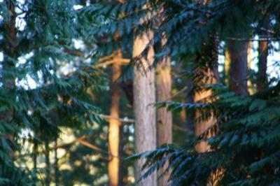 evening_forest.JPG