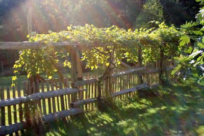 grape trellis.jpg