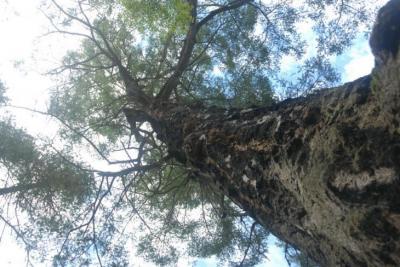 Big fir on Lasqueti