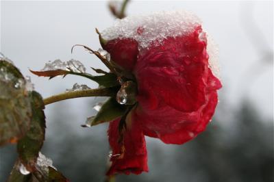 winter rose.jpg